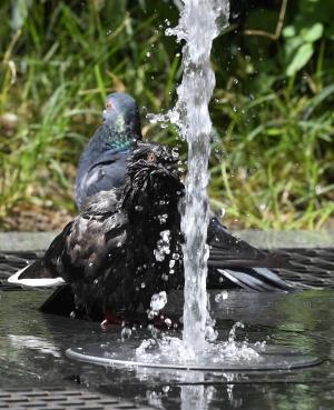 추석 맞이 비둘기 목욕탕 개장
